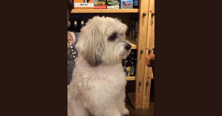 Photo of Cocoa, a Shih Tzu, Maltese, Poodle (Small), and American Eskimo Dog mix in Huntsville, Alabama, USA