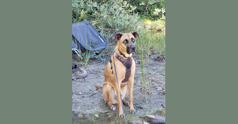 Photo of Tucker, a Boxer, American Pit Bull Terrier, Australian Cattle Dog, Chow Chow, German Shepherd Dog, and Mixed mix in Clovis, California, USA