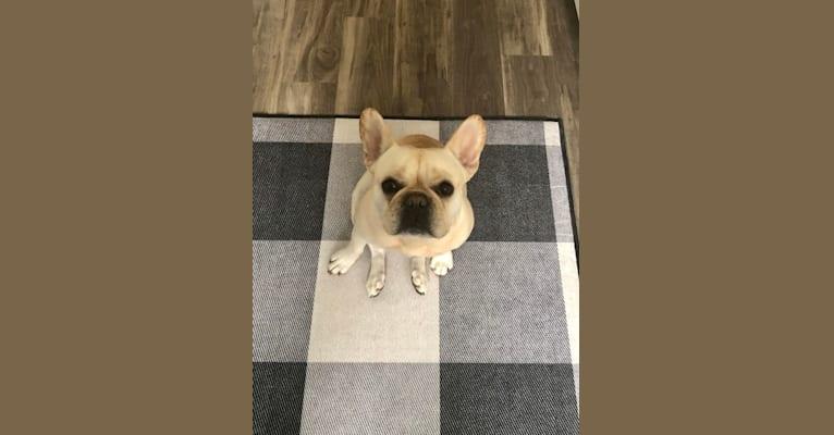 Photo of Ernie, a French Bulldog  in Maryland, USA