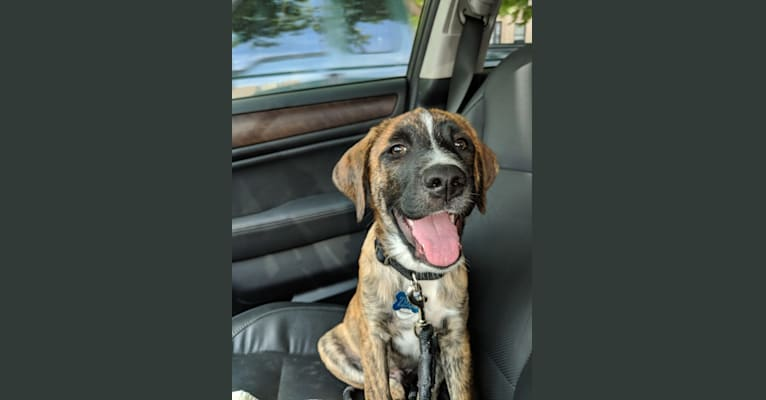 Photo of Zeus, a Labrador Retriever, Boxer, American Pit Bull Terrier, and Border Collie mix in Denver, CO, USA