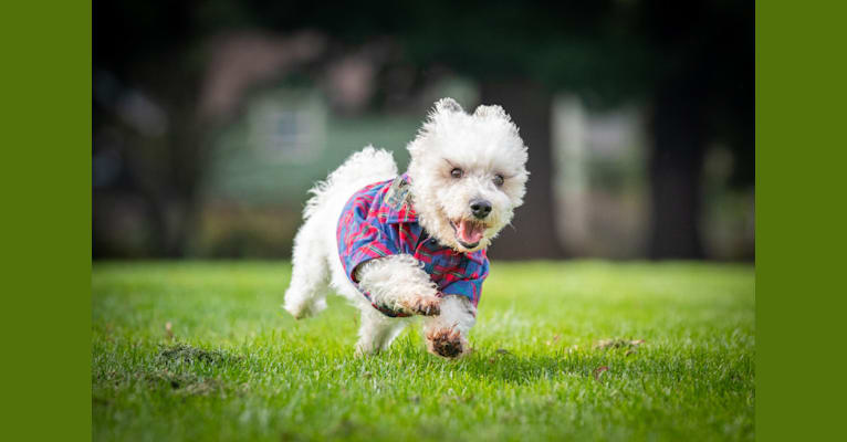 Photo of Pig, a Maltese, Bichon Frise, Miniature Schnauzer, and Yorkshire Terrier mix in Portland, Oregon, USA