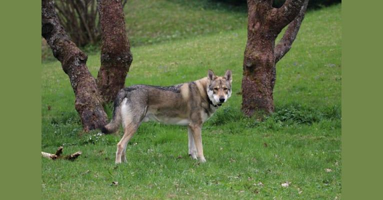 Photo of Choki, a Saarloos Wolfdog