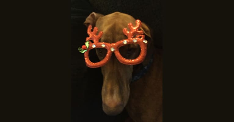 Photo of Leroy, a Doberman Pinscher and Boxer mix in Michigan, USA