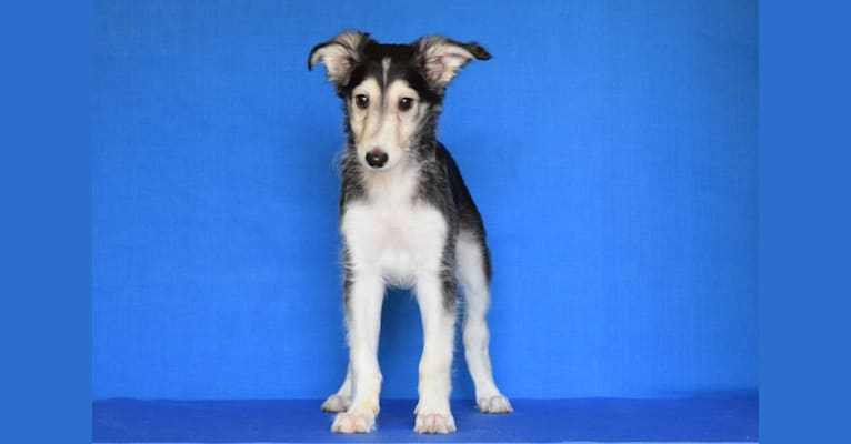 Photo of Roose, a Silken Windhound