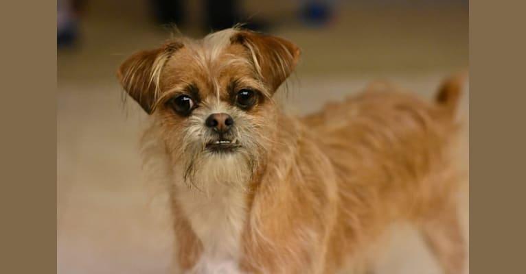 Photo of Daisy, a Shih Tzu, Chihuahua, and Mixed mix in Sacramento, California, USA