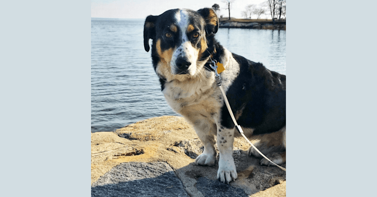 Photo of Franklin, a Labrador Retriever, Australian Shepherd, German Shepherd Dog, Pekingese, Poodle (Standard), and Mixed mix in Bridgeport, Connecticut, USA