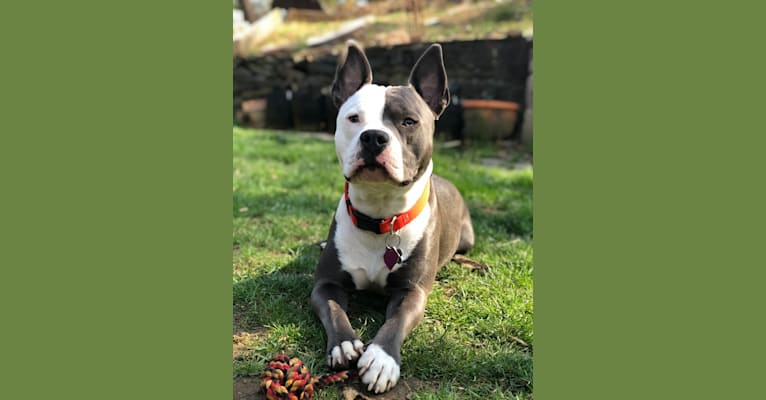 Photo of Ollie, an American Bully  in Trenton, NJ, USA