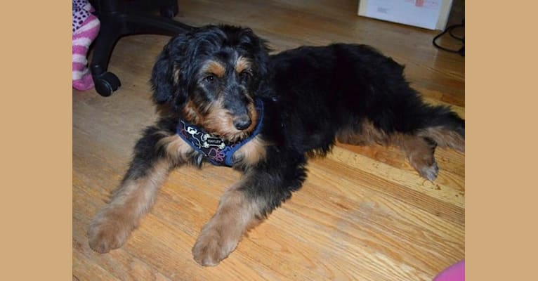 Photo of Hayley, an Aussiedoodle  in Ontario, Canada