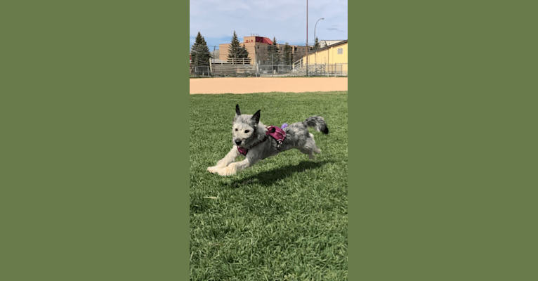Photo of Dory, a Siberian Husky, Poodle (Small), Alaskan Malamute, and Mixed mix in Gillam, Manitoba, Canada