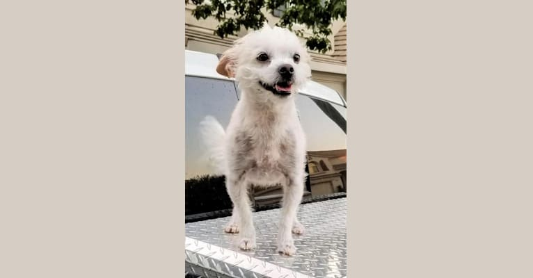 Photo of Scruffs, a Lhasa Apso, Boston Terrier, Poodle (Small), and Chihuahua mix in Las Vegas, Nevada, USA