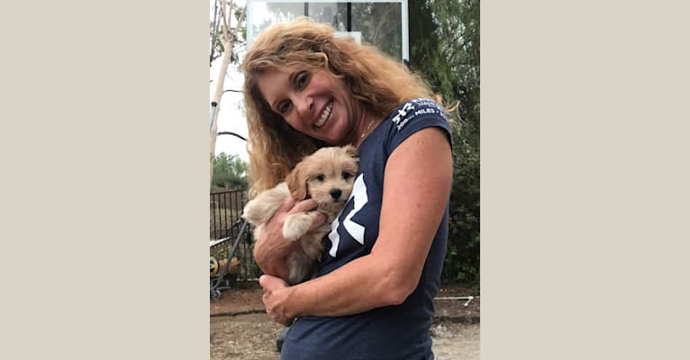 Photo of Stewie, a Poodle (Small) and Chihuahua mix in Marina Del Rey, California, USA