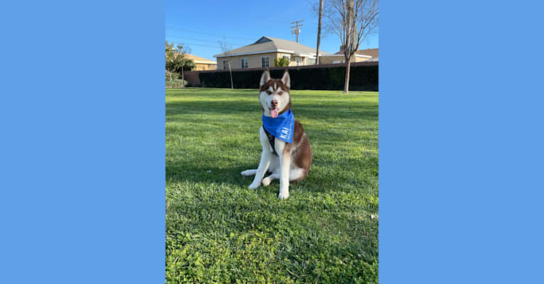 Photo of Kai, a Siberian Husky  in Thousand Oaks, CA, USA