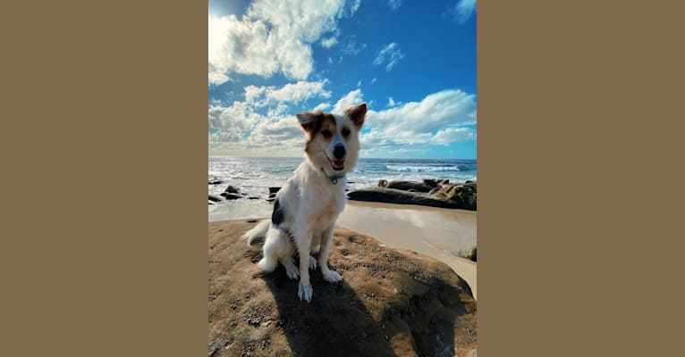 Photo of Cali, a Southeast Asian Village Dog  in Thailand