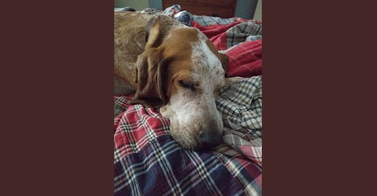 Photo of Gabe, an American English Coonhound  in Asheville, North Carolina, USA