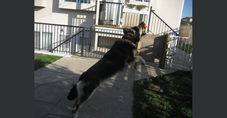 Photo of Cubby, a German Shepherd Dog, Labrador Retriever, and Rottweiler mix in British Columbia, Canada