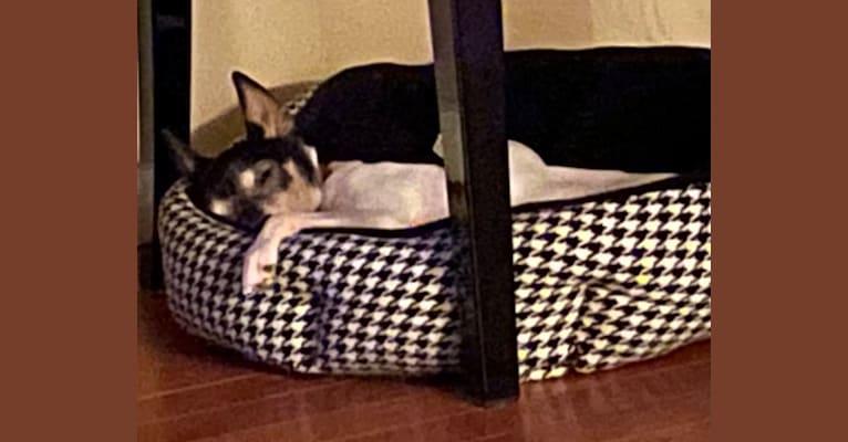 Photo of Cordelia (Cory), a Toy Fox Terrier  in Chehalis, Washington, USA