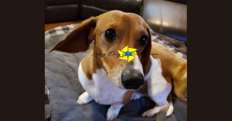 Photo of Buster, a Dachshund