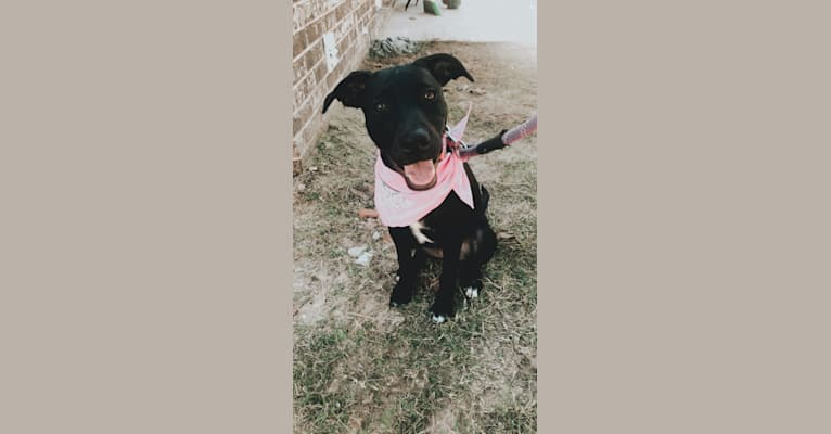 Photo of Bella Kate, a Labrador Retriever, American Pit Bull Terrier, and German Shorthaired Pointer mix in Guntersville, Alabama, USA
