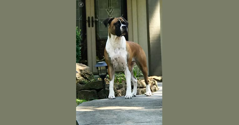 Photo of Ziva, a Boerboel