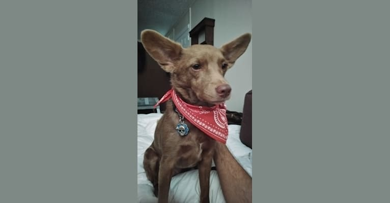 Photo of Little Red, a Russell-type Terrier, American Eskimo Dog, Miniature Schnauzer, Beagle, Shetland Sheepdog, and Mixed mix in Michigan, USA