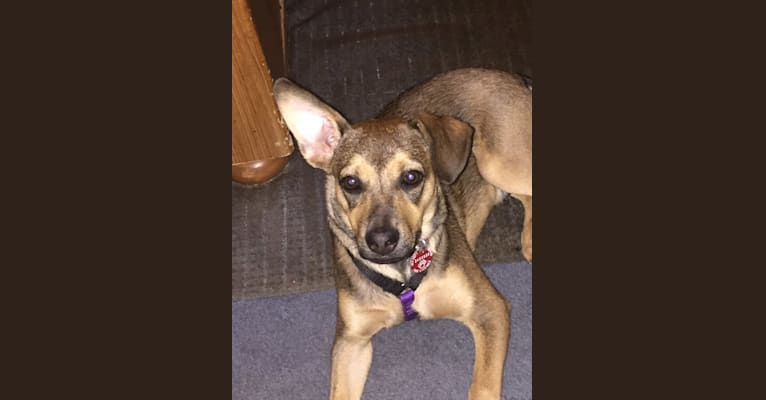 Photo of IAN, an American Pit Bull Terrier, Cocker Spaniel, German Shepherd Dog, Chow Chow, Miniature Pinscher, Labrador Retriever, and Mixed mix in Puerto Rico