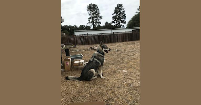 Photo of Wylie, a German Shepherd Dog mix in Nipomo, California, USA