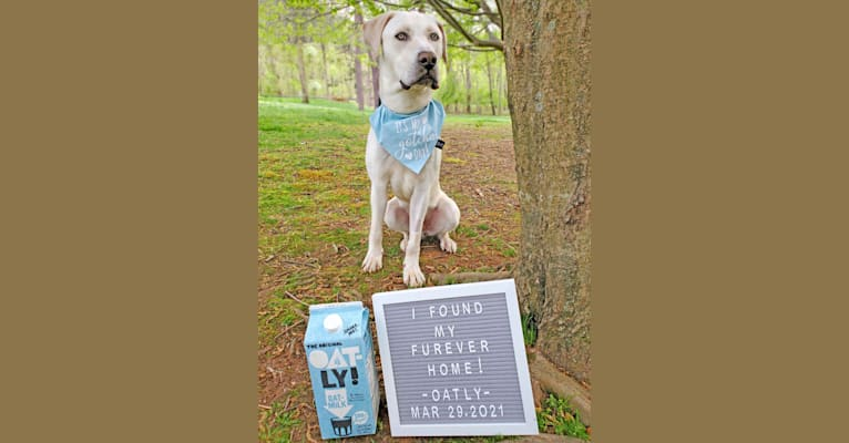 Photo of Oatly, a Boerboel and Cane Corso mix in USA