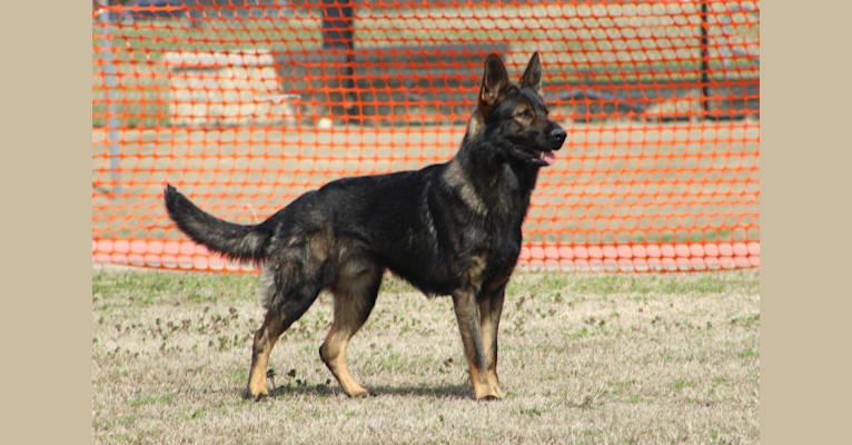 Photo of Inigo Von Goedehaus, a German Shepherd Dog