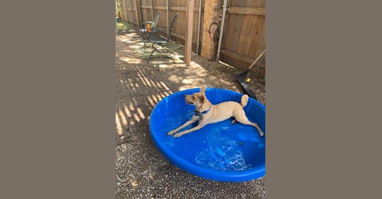 Photo of Gizmo Westbrook, a Shiba Inu, Pembroke Welsh Corgi, Chihuahua, and Rat Terrier mix in Austin, Texas, USA