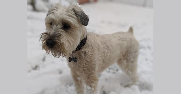 Photo of Gracie, a Soft Coated Wheaten Terrier mix in Palatine, Illinois, USA