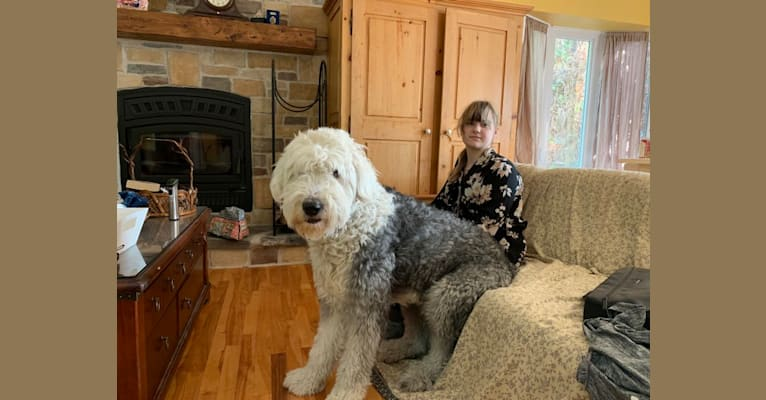 Photo of Levy, an Old English Sheepdog  in Solon, Maine, USA