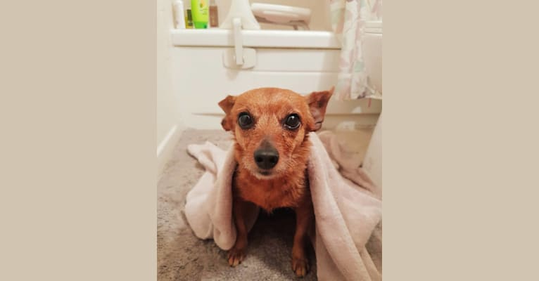 Photo of Abby, a Dachshund and Yorkshire Terrier mix in Kansas City, MO, USA