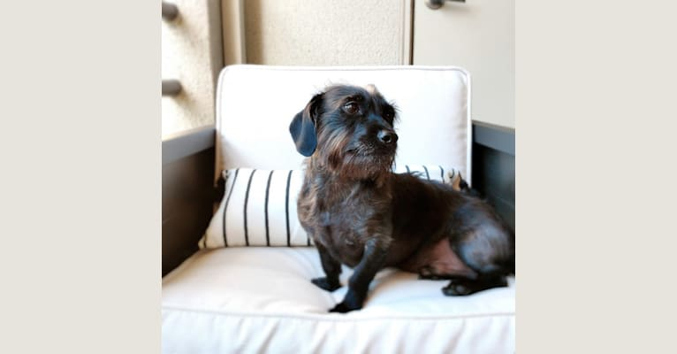 Photo of Archer, a Dachshund, Chihuahua, and Poodle (Small) mix in SF, California, USA