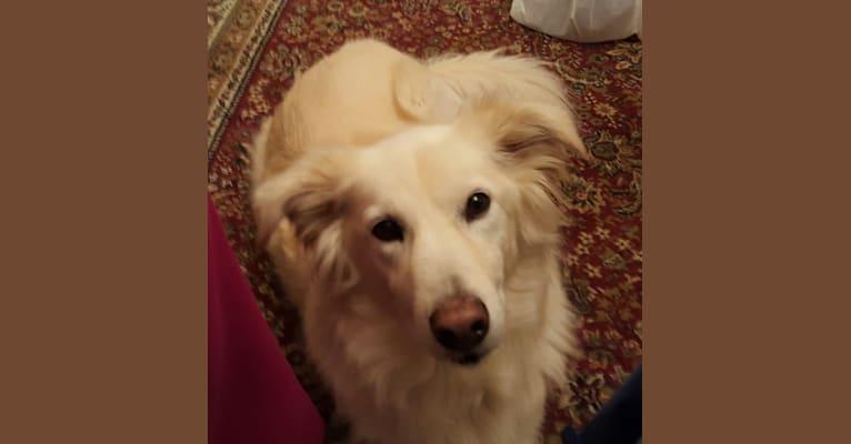 Photo of Willow, a Labrador Retriever, Siberian Husky, Golden Retriever, German Shepherd Dog, and Mixed mix