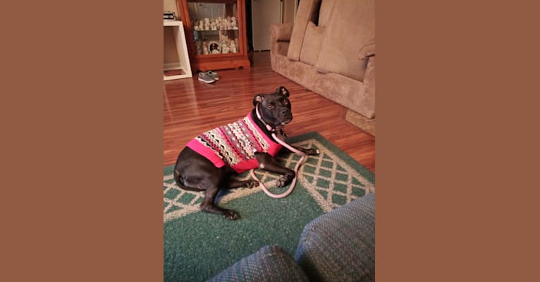 Photo of Tiny, an American Bully  in Bridgeton, Missouri, USA