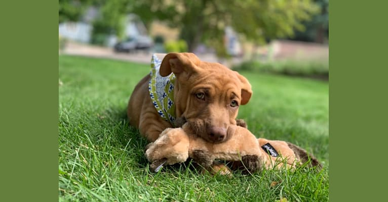 Photo of Fezzik, an American Pit Bull Terrier, Miniature/MAS-type Australian Shepherd, and American Staffordshire Terrier mix in Vinita, OK, USA