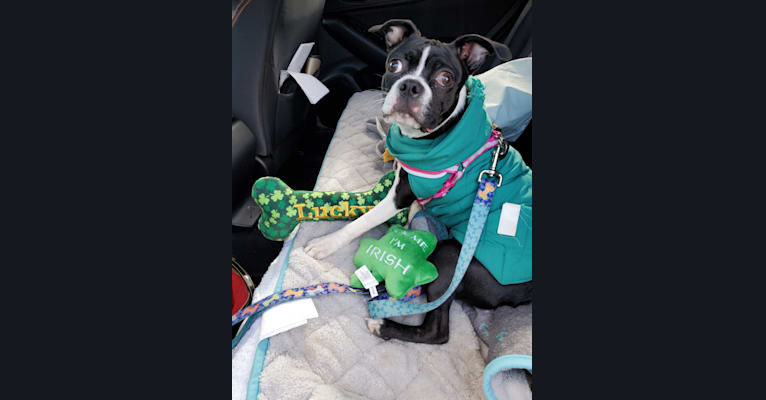 Photo of Clover, a Boston Terrier  in Fresno, OH, USA