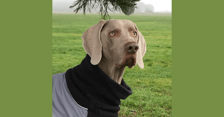 Photo of Gunnar, a Weimaraner  in Washington, USA