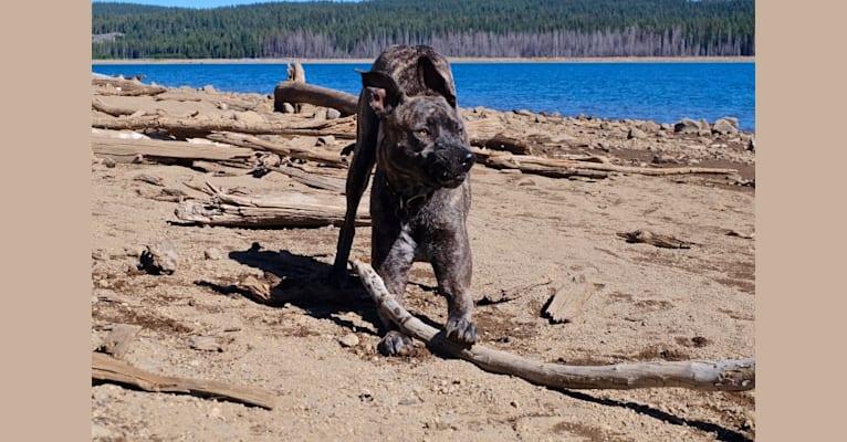 Photo of Dakota, an American Pit Bull Terrier, Siberian Husky, and Rottweiler mix in Bakersfield, California, USA