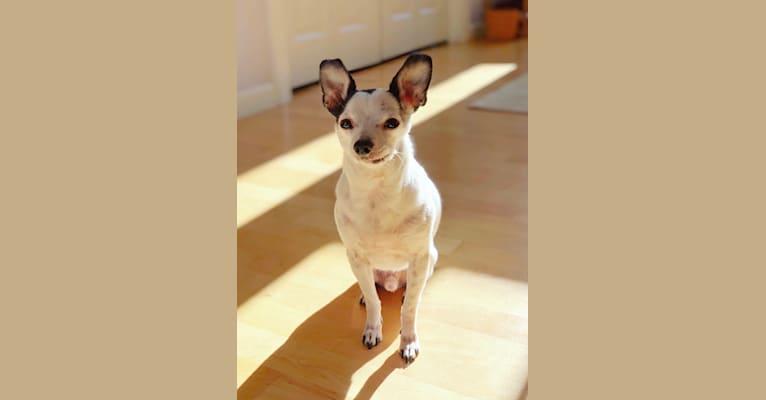 Photo of Panda, a Chihuahua and Mixed mix in California, USA