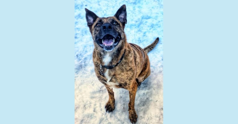 Photo of FinnFindley, a German Shepherd Dog, American Pit Bull Terrier, and Boxer mix in Texas, USA
