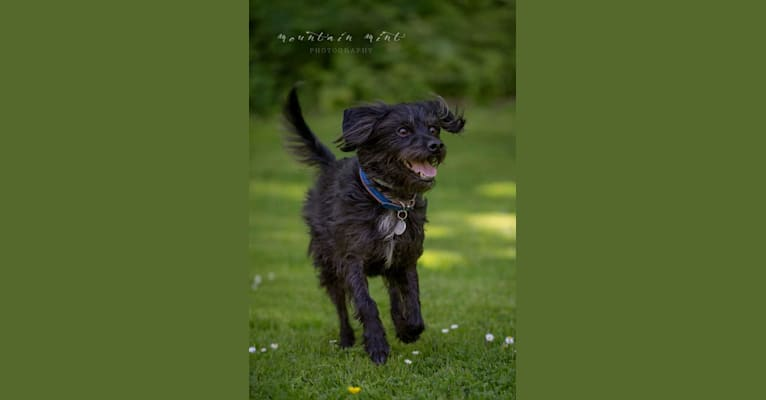 Photo of KIPPER DEE DIPPERS, a Chihuahua, Poodle (Small), Yorkshire Terrier, and Rat Terrier mix in Tennessee, USA
