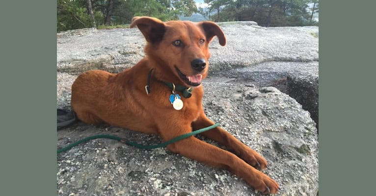 Photo of Rue, a Mountain Cur, German Shepherd Dog, Beagle, Chow Chow, and Mixed mix in Kentucky, USA