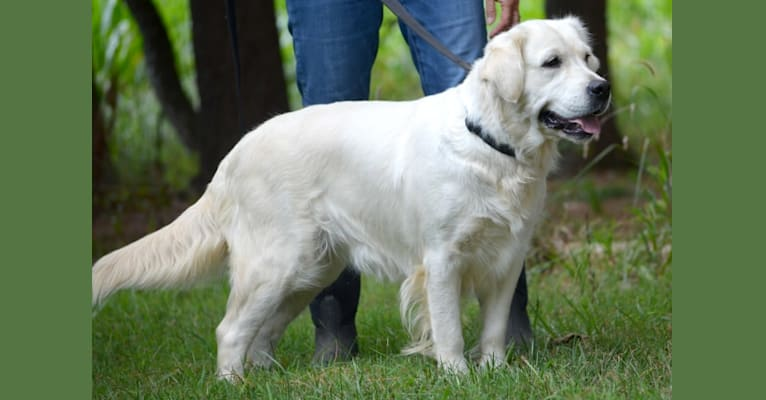 Photo of Libby, a Golden Retriever  in Hagerstown, MD, USA
