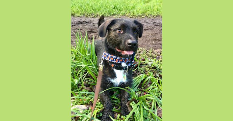 Photo of Sherman, an American Pit Bull Terrier, Labrador Retriever, Basset Hound, Australian Shepherd, Boxer, and Yorkshire Terrier mix in Dallas, Oregon, USA