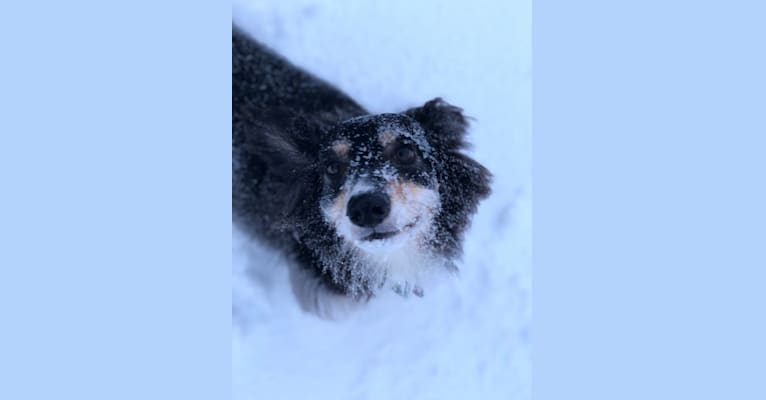 Photo of Sophie, a Poodle (Small), Russell-type Terrier, Cocker Spaniel, and Mixed mix in Winterland, Newfoundland and Labrador, Canada