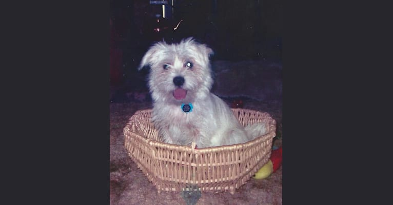 Photo of Tigger, a Shih Tzu and West Highland White Terrier mix in Cabot, Arkansas, USA