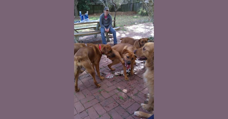 Photo of Buster, a Boxer, Chow Chow, Golden Retriever, and German Shepherd Dog mix in Currie, North Carolina, USA