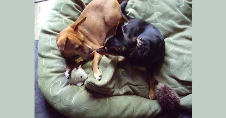 Photo of Rufus, a Beagle and Chihuahua mix in Newark, New Jersey, USA