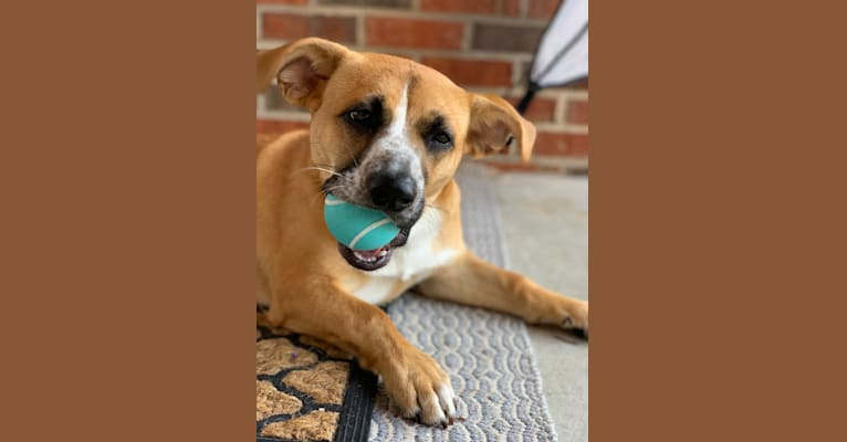 Photo of Duke, an Australian Cattle Dog, Australian Shepherd, American Pit Bull Terrier, and Chihuahua mix in Kind Keeper Animal Rescue, LD Drive, North Myrtle Beach, SC, USA